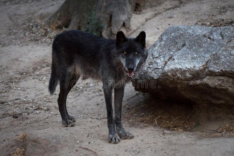 Black male of artic wolf royalty free stock photos