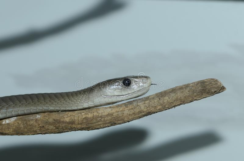 Download Black mamba on branch stock image. Image of slither, viper - 23408881