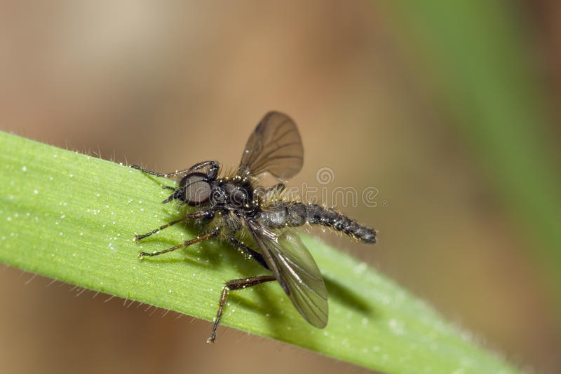 Download Black March Fly stock image. Image of hairy, insect, biobionidae - 23640999