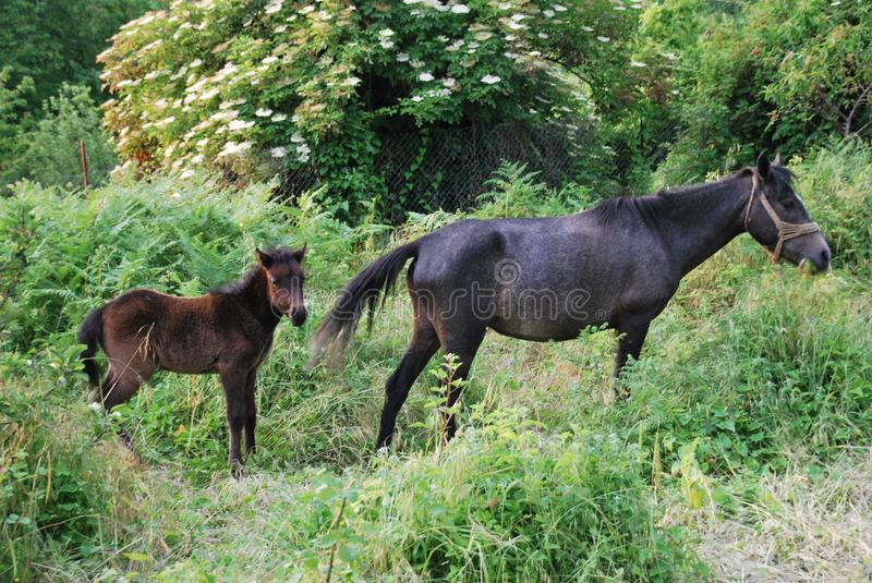 Mother and Daughter horse in a green field stock images