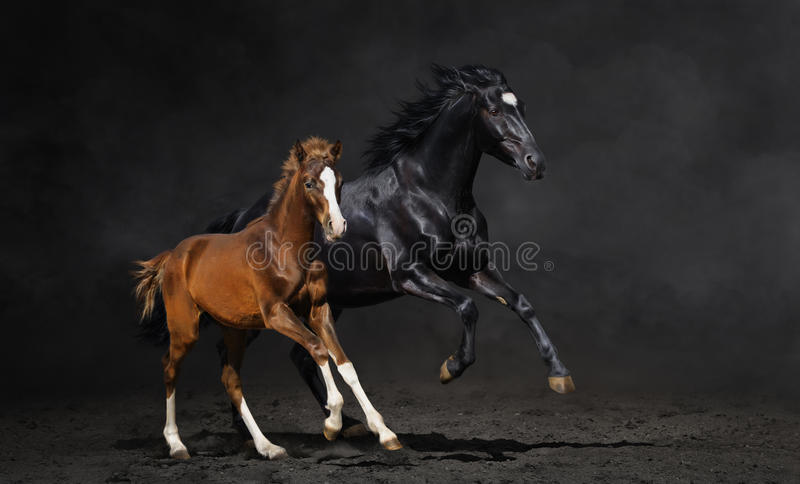Black mare and her bay foal stock photography