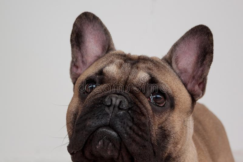 Black masked fawn french bulldog puppy close up. Pet animals. royalty free stock image