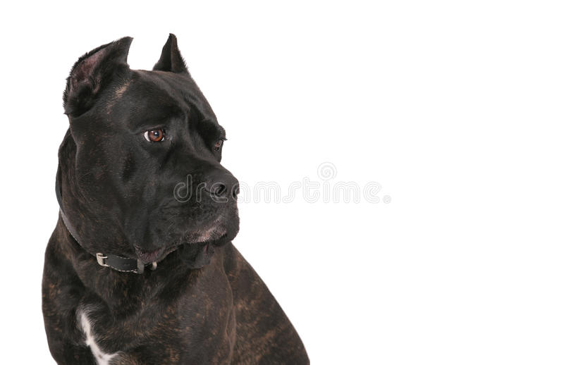 Black mastiff stock image