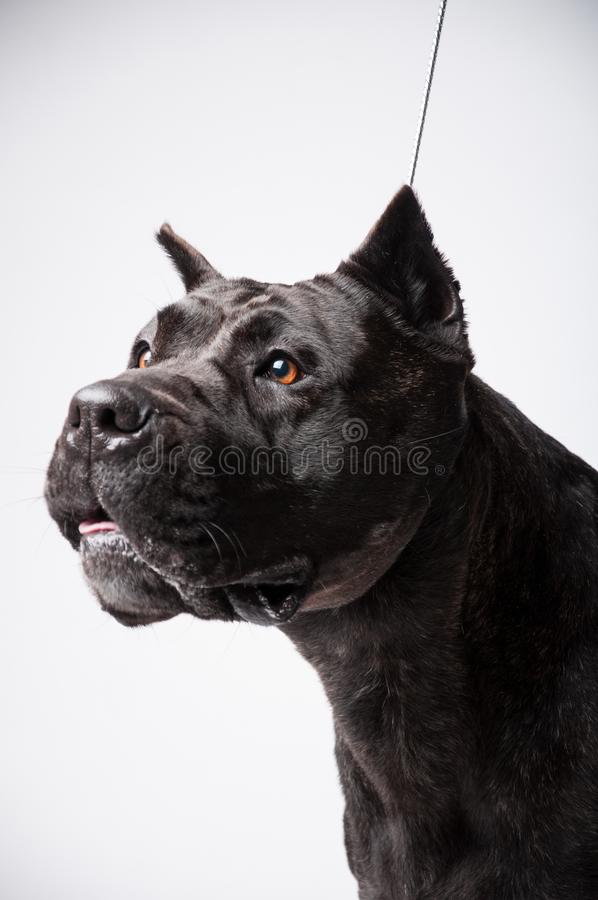 Black mastiff isolated on white royalty free stock photos