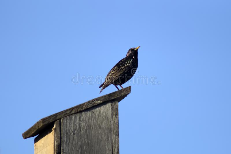Black migratory bird Starling sitting on a homemade wooden birdhouse royalty free stock photography
