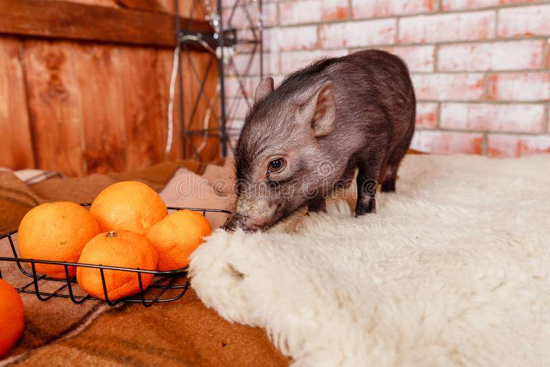 Black mini pig portrait. Little pink piglets. Funny small mini piggy and oranges, tangerines.Chinese horoscope, Happy royalty free stock images