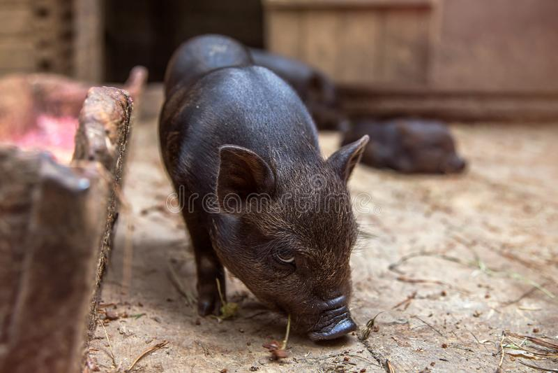 Black mini piglet eating royalty free stock photo