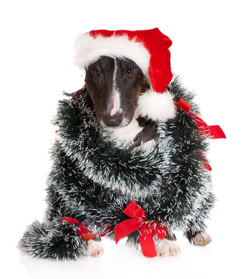 Miniature bull terrier dog posing with Christmas decorations stock photo