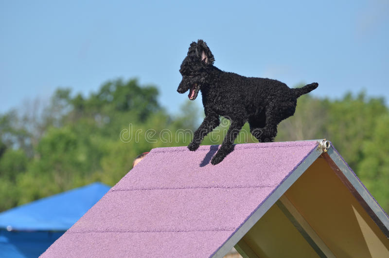 Black Miniature Poodle at a Dog Agility Trial. Black Miniature Poodle Climbing an A-frame at a Dog Agility Trial royalty free stock photo