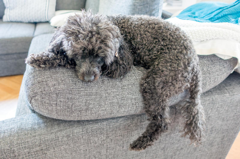 Napping poodle. Black miniature poodle napping stock image