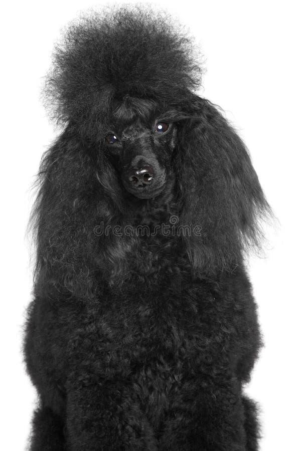 Black miniature poodle portrait white background. Black miniature poodle portrait on a white background royalty free stock photography