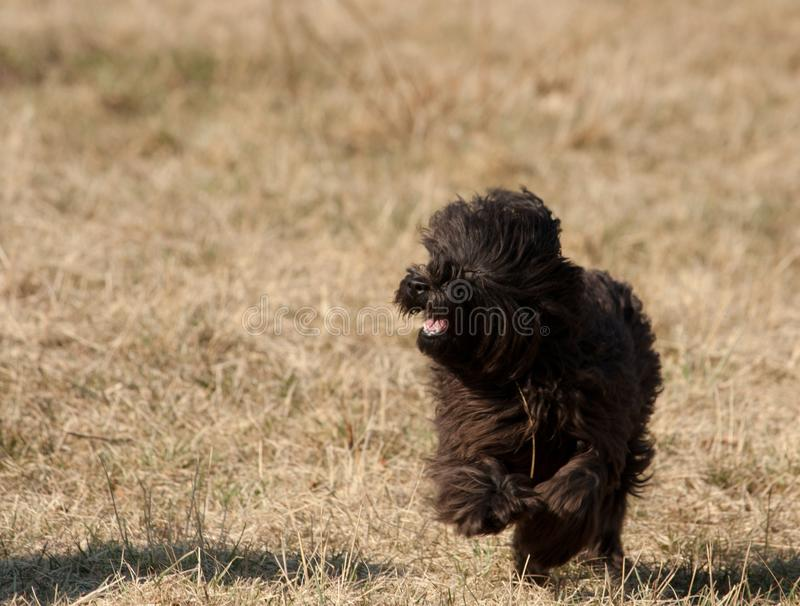 Black miniature Poodle running. A Black miniature Poodle running in the sun stock image