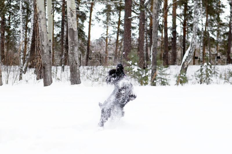 Black miniature schnauzer is playing and jumping in snow on a background of winter coniferous park.  stock photo