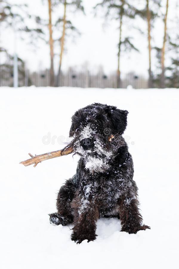 Black miniature schnauzer is playing with stick in winter park.  stock images