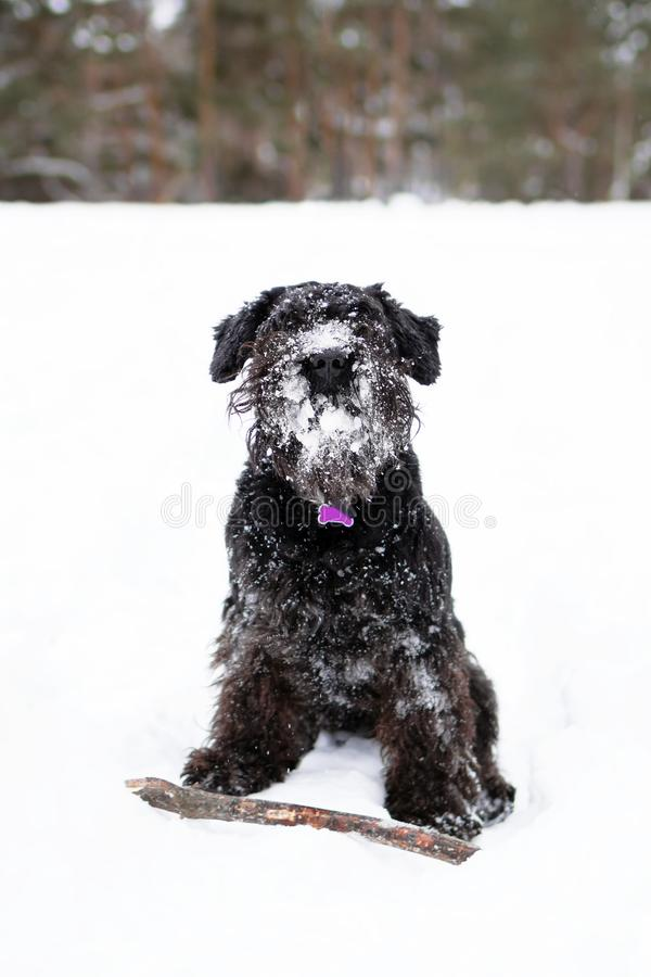 Black miniature schnauzer is playing with stick in winter park.  stock photos