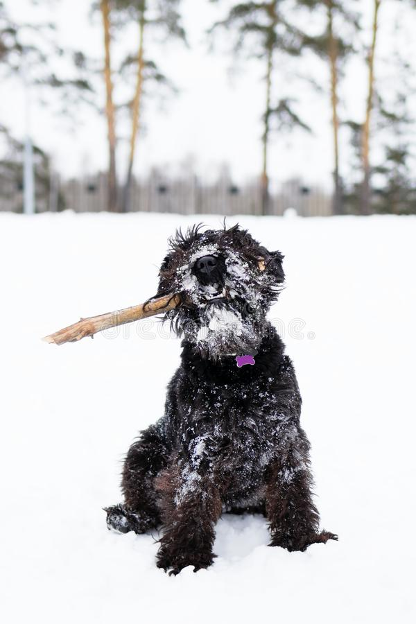 Black miniature schnauzer is playing with stick in winter park.  royalty free stock photos