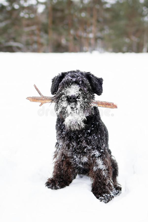 Black miniature schnauzer is playing with stick in winter park.  stock photography