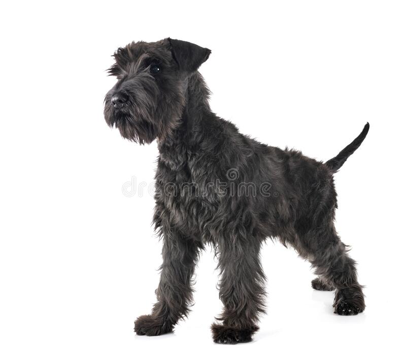 Black miniature schnauzer in studio. Black miniature schnauzer in front of white background royalty free stock images