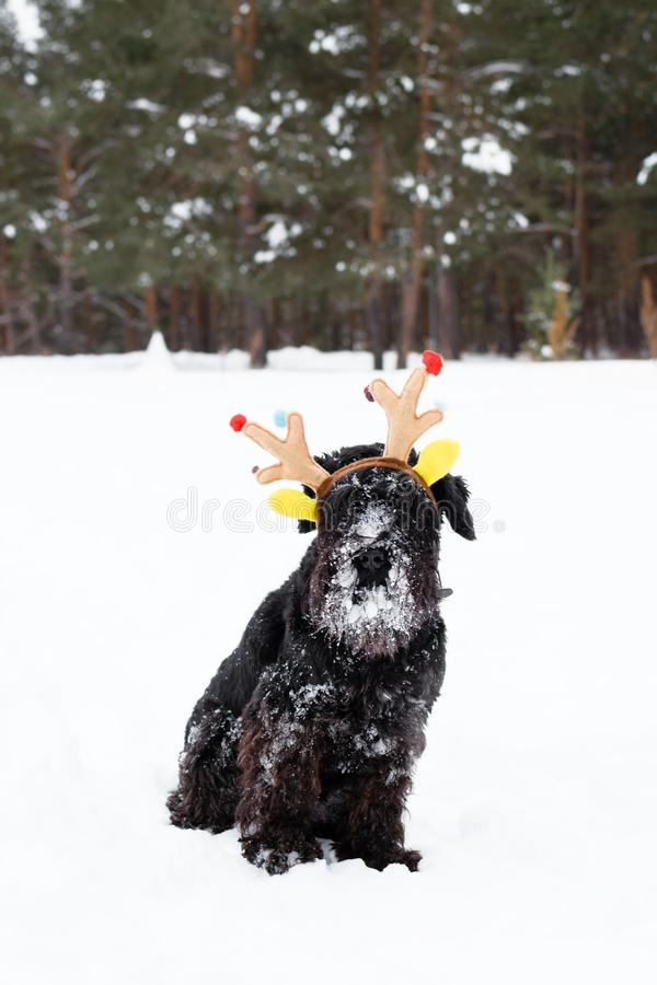 Black miniature schnauzer is wearing colorful deer horns in the winter forest. Symbol for Christmas and New Year stock photos