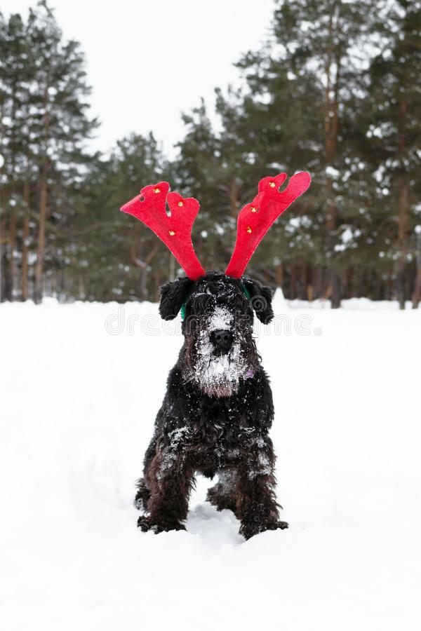 Black miniature schnauzer is wearing red deer horns in the winter forest. Symbol for Christmas and New Year.  stock images