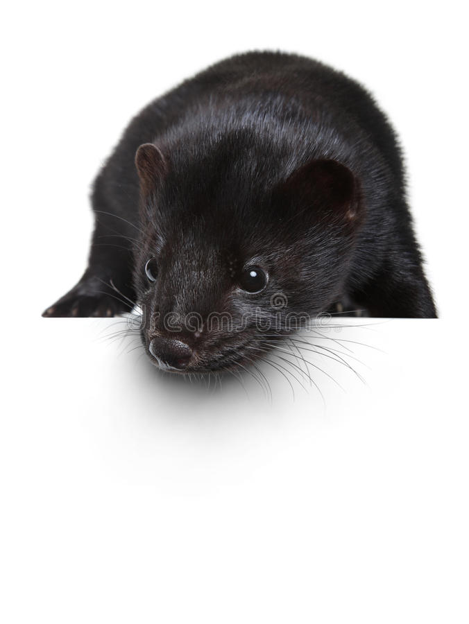 Black mink lying on a white banner royalty free stock photo