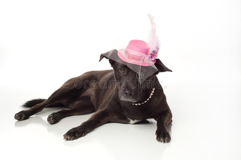 Black, Mixed Breed Dog with Fancy Fascinator Hat. A black, mixed-breed, female dog wearing a fancy, pink fascinator hat. Isolated on a white, seamless background royalty free stock photo