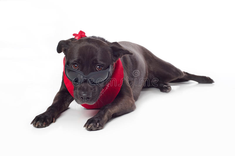 Black Mixed-Breed Dog Peering Over Sunglasses. A black, mixed-breed, female dog peering over sunglasses and wearing a red bandana. Isolated on a white seamless royalty free stock photo