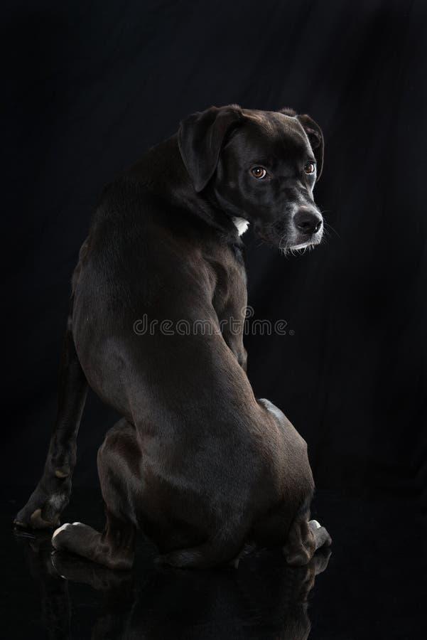 Black mixed breed dog on black background. Black mixed breed dog sitting from behind turns around on black background royalty free stock image