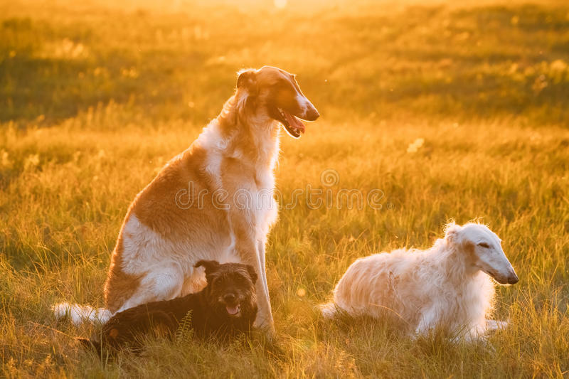 Black Mixed Breed Hunting Dog And Russian Greyhounds Borzois, Borzaya Sitting Together Outdoor In Summer Or Autumn. Small Size Black Mixed Breed Hunting Dog And stock photography