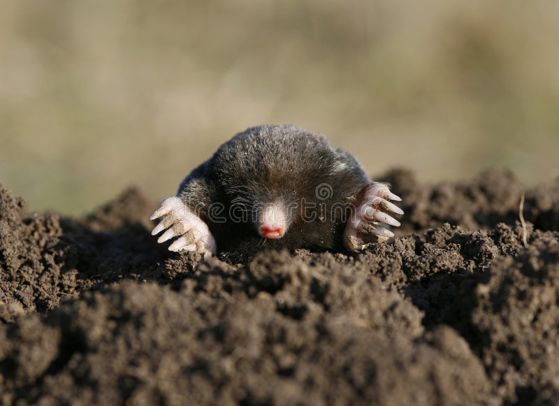 Black mole stock photo