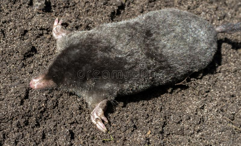 Black mole lies on a pile of excavated soil royalty free stock photo