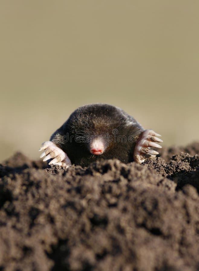 Free Black Mole Vertical Stock Photo - 4345460