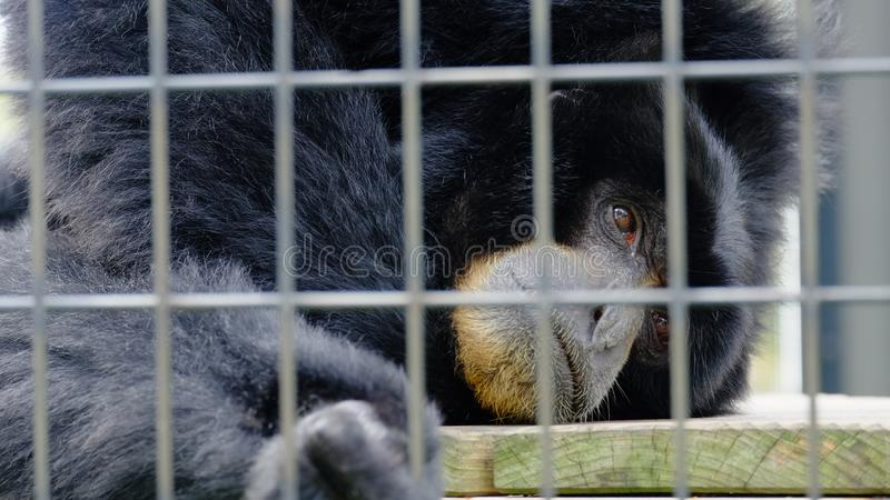 A black monkey is sad in an iron cage stock photo