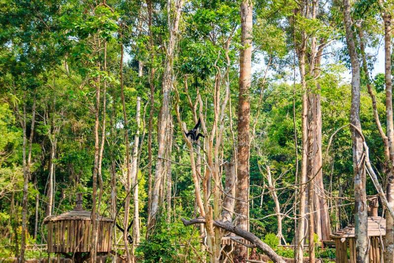 Black monkey in tropical safari park, Phu Quoc, Vietnam. Black monkey tropical safari park phu quoc vietnam royalty free stock photo