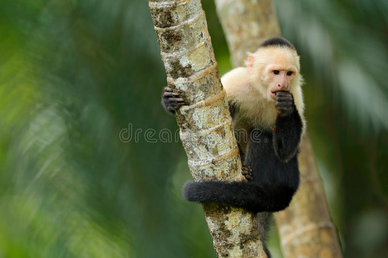 Black monkey White-headed Capuchin sitting on the tree branch in the dark tropic forest. Cebus capucinus in gree tropic vegetation stock photos