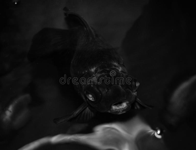 A Black Moor Goldfish or Dragon Eye Fish in Motion. Gasping for an air or wanting for some food royalty free stock image