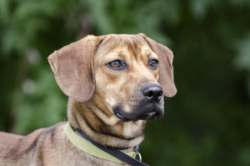 Black Mouth Cur Hound Beagle mixed breed dog. Young brown floppy ear Black Mouth Cur Hound Beagle mixed breed dog. Outdoor adoption pet photography for Walton royalty free stock photography