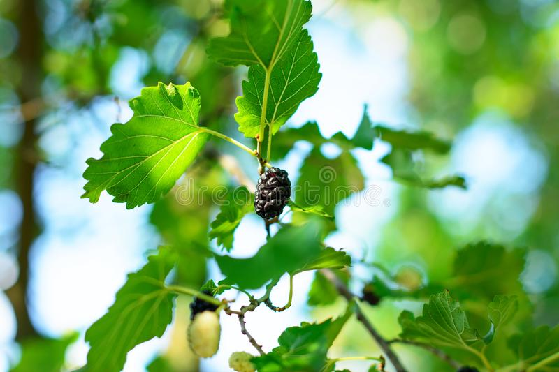 Black mulberry fruit among plant's foliage, bathed in warm sunlight. stock images