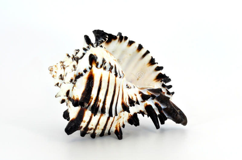 Download Black murex shell isolated stock photo. Image of shell - 15525672