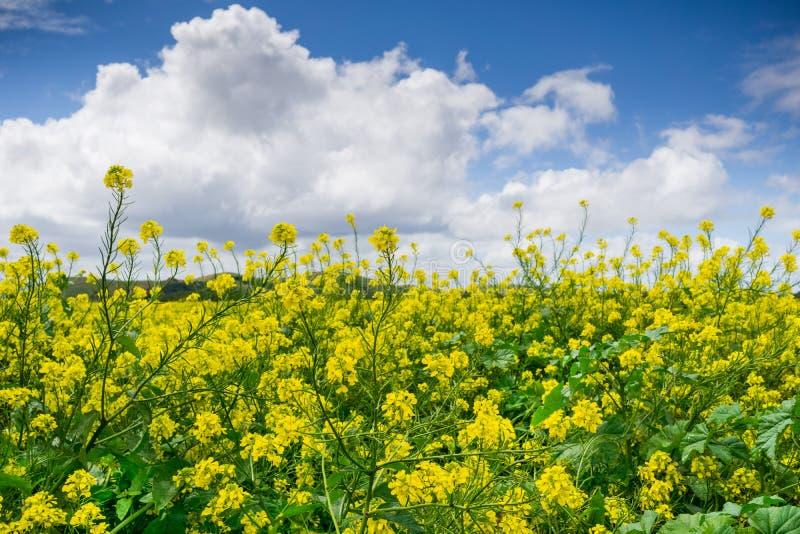 Black mustard field, Coyote Hills Regional Park, San Francisco bay, California stock images