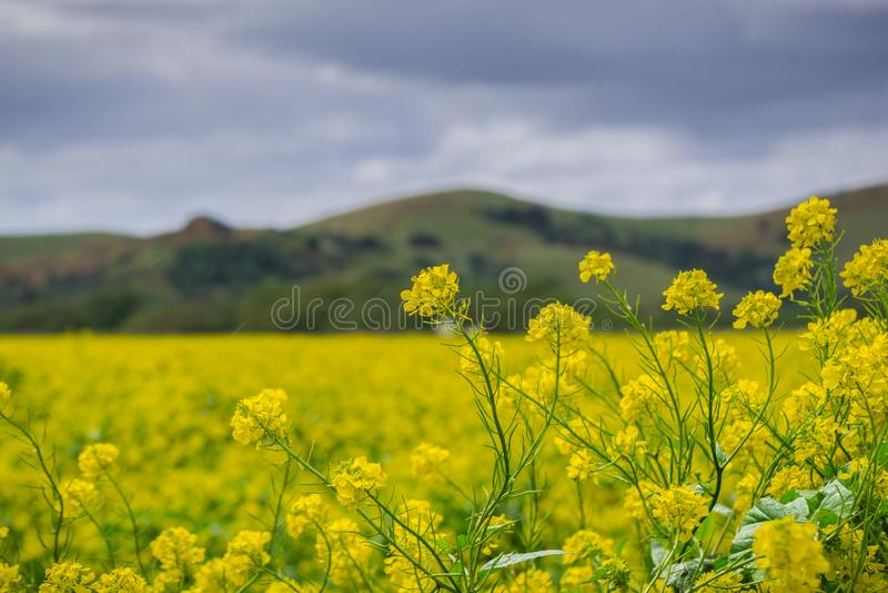 Black mustard field, Coyote Hills Regional Park, San Francisco bay, California stock photos
