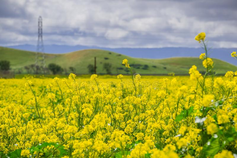 Black mustard field, Coyote Hills Regional Park, San Francisco bay, California stock photo