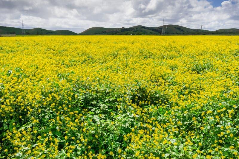 Black mustard field, Coyote Hills Regional Park, San Francisco bay, California stock image