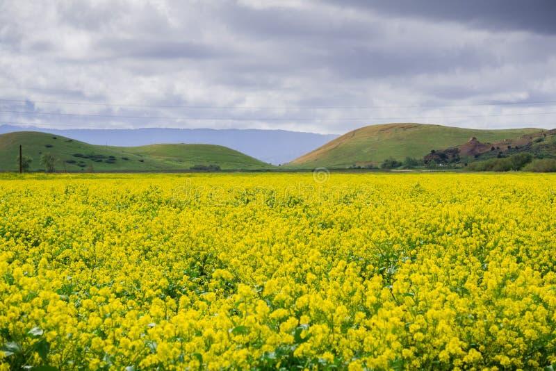 Black mustard field, Coyote Hills Regional Park, San Francisco bay, California royalty free stock image
