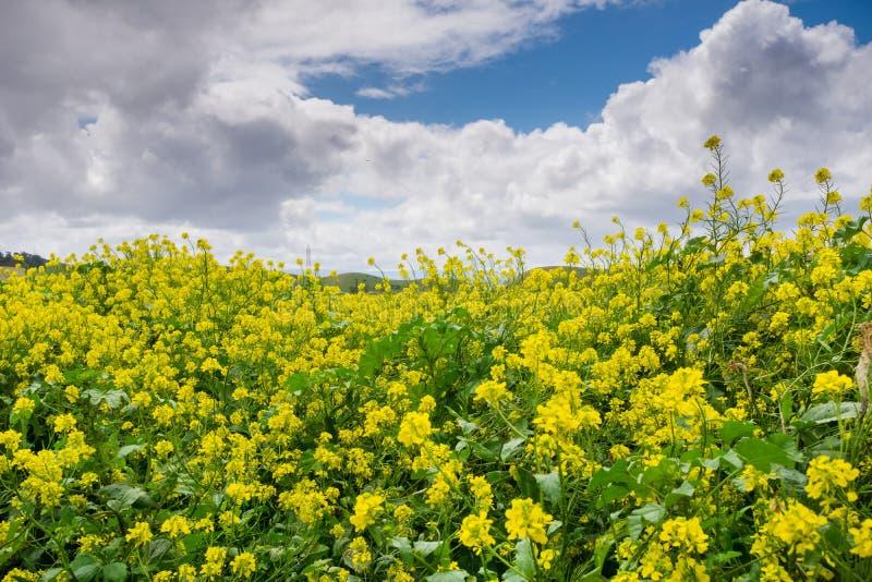 Black mustard field, Coyote Hills Regional Park, San Francisco bay, California royalty free stock images