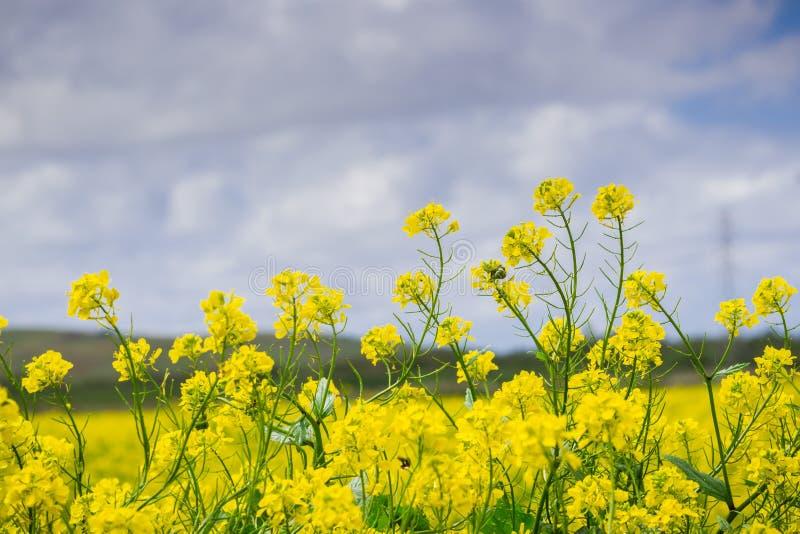Black mustard field, Coyote Hills Regional Park, San Francisco bay, California royalty free stock photography