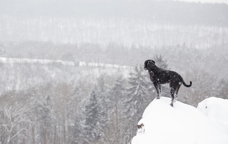 Black mutt dog outside in winter snow. royalty free stock images