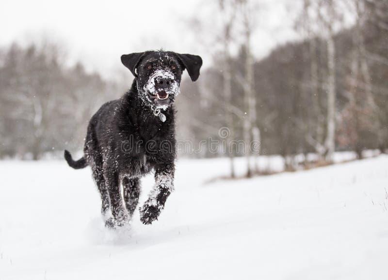 Black mutt dog outside in winter snow. stock image