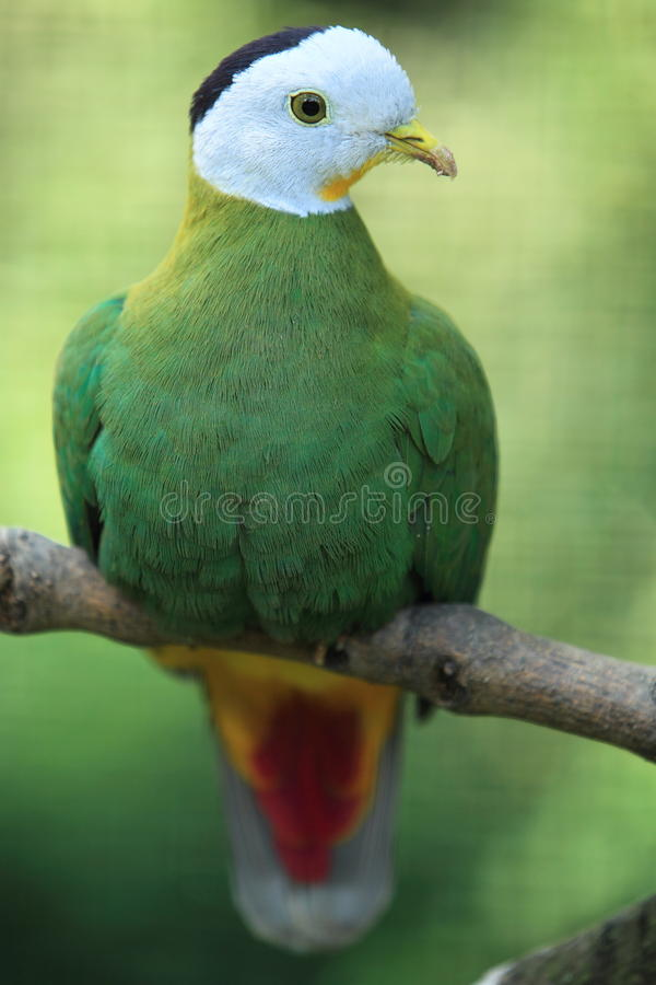 Black-naped fruit dove royalty free stock photography