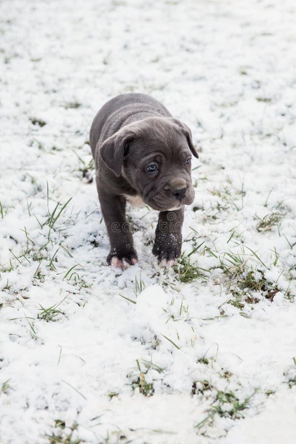 Black Neapolitan Mastiff puppy stock photos